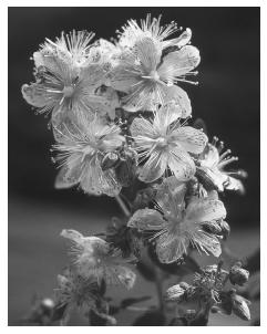 St. John's wort flowers. (Photo Researchers, Inc. Reproduced by permission.) See color insert for color version of photo.
